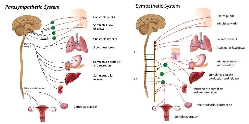 autonomic nervous system branches; Parasympathetic & Sympathetic Systems